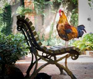 close up photography of orange rooster on brown wooden bench